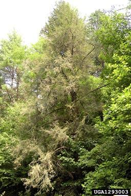 Hemlock Woolly Adelgid Infestation