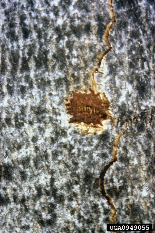 Asian Longhorned Beetle: Pits in Tree Bark