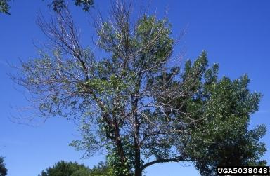 Emerald Ash Borer Crown Dieback