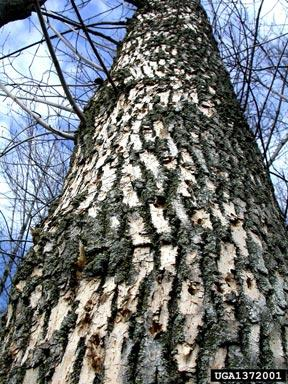 Emerald Ash Borer Woodpecker Activity