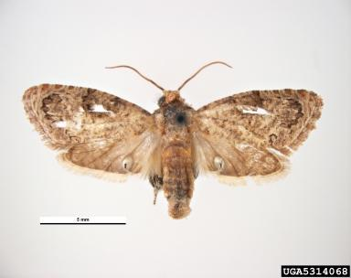 False Codling Moth