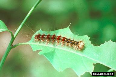 Gypsy Moth Caterpillar
