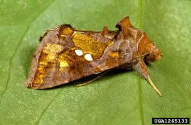 Golden Twinspot Moth