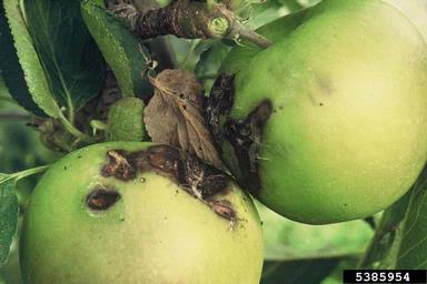 Light Brown Apple Moth Damage