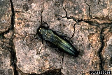 Oak Splendour Beetle