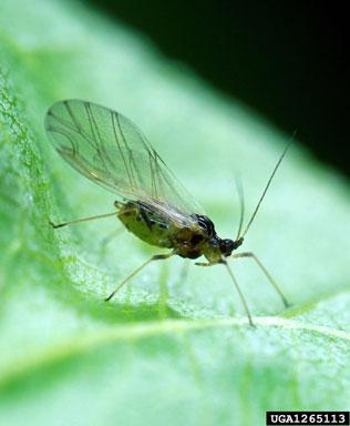 Aphid that transmits PPV
