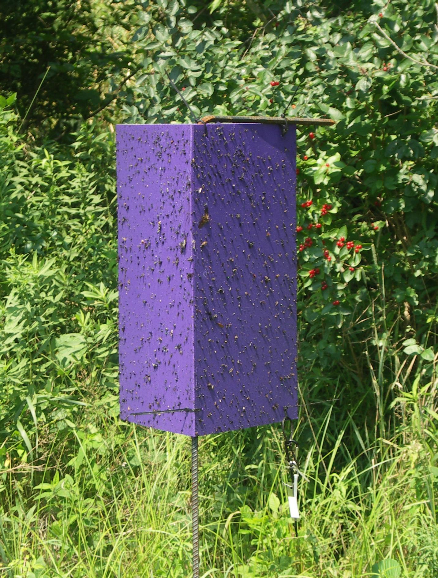 Emerald Ash Borer Purple Trap