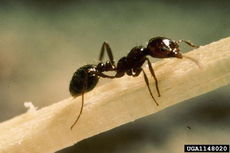 Red Imported Fire Ant adult
