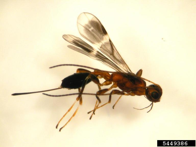 parasitoid that attacks EAB larvae