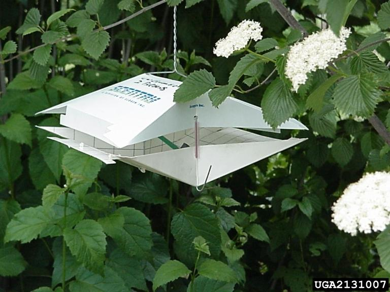 Wing trap which is used to target several moth pests
