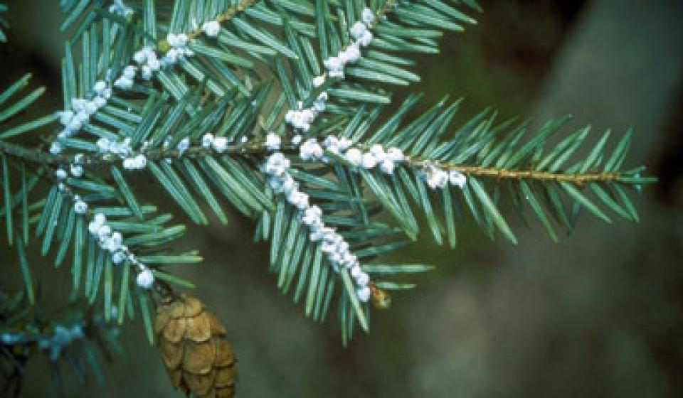 Hot Topic: Hemlock Woolly Adelgid