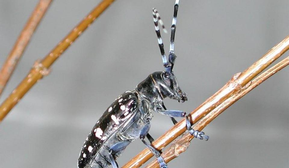 Hot Topic: Asian Longhorned Beetle
