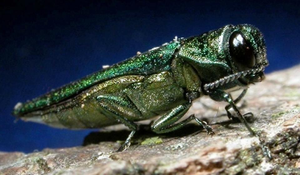 Hot Topic: Emerald Ash Borer