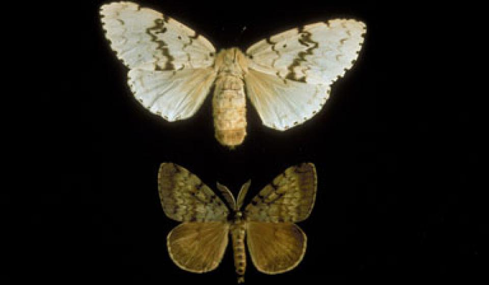 Hot Topic: Gypsy Moth