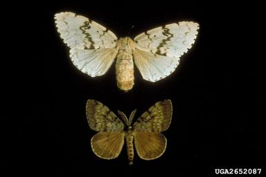 Male Female Gypsy Moth
